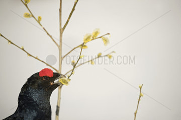 Black grouse (Lyrurus tetrix) male eating catkin  Prealps  Switzerland