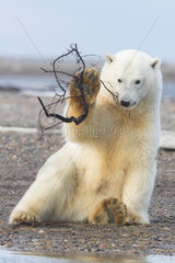 Polar Bear( Ursus maritimus ) playing with a branch  along a barrier island outside Kaktovik  Every fall  polar bears (Ursus maritimus) gather near Kaktovik on the northern edge of ANWR  Barter Island  Arctic National Wildlife Refuge  Alaska