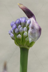Agapanthe (Agapanthus sp) early bloom