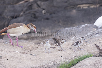 Egyptian goose (Alopochen aegyptiaca) with chicks on rock  Ziway lake  Rift Valley  Ethiopia