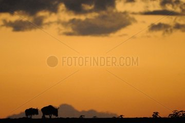 Silhouetted Wildebeests on the crest at sunrise Kenya