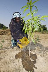 Woman watering a tree Senegal