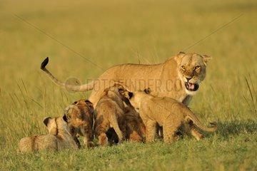 Lions cubs against their mother roaring Masai Mara NR Kenya