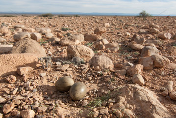 Houbara Bustard (Chlamydotis undulata) eggs in nest  Morocco