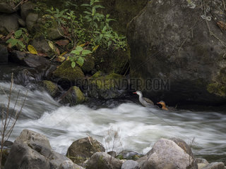 Torrent duck (Merganetta armata)  pair on white water  Tolima  Colombia  february
