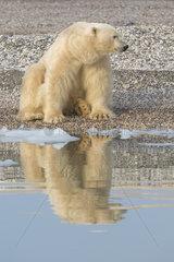 Polar bear (Ursus maritimus) adult male sitting at the water's edge  Wahlenbergfjord  Nordaustlandet  Spitzberg  Svalbard.