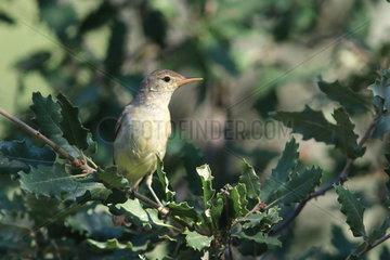 Melodious Warbler (Hippolais polyglotta) on a branch  Catalonia  Spain