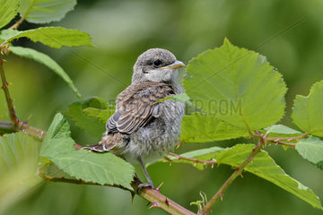 Red-backed Shrike (Lanius collurio) young from the nest on a branch