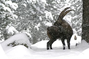 Alpine Ibex (Capra ibex) in winter  France