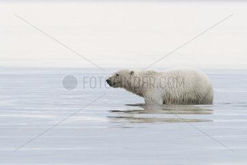 Polar Bear( Ursus maritimus ) in water along a barrier island outside Kaktovik  Every fall  polar bears (Ursus maritimus) gather near Kaktovik on the northern edge of ANWR  Barter Island  Arctic National Wildlife Refuge  Alaska