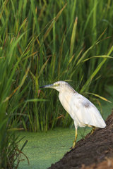 Squacco Heron (Ardeola ralloides). Hunting at the edge of a rice field (Oryza sativa). Environs of the Ebro Delta Nature Reserve  Tarragona province  Catalonia  Spain.