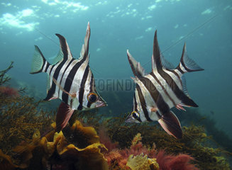 Old wife  Enoplosus armatus. In confrontation; note fist dorsal spies raised. It's a species endemic to the temperate coastal waters of Australia. The name old wife refers to the sound it makes when caught  caused by it grinding its teeth. Australia. Composite image