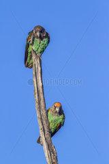 Cape Parrots (Poicephalus robustus) couple on a branch  Kruger National park  South Africa