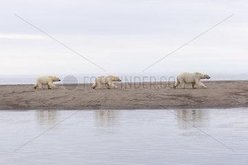 Polar Bear( Ursus maritimus ) with cubs walking along a barrier island outside Kaktovik  Every fall  polar bears (Ursus maritimus) gather near Kaktovik on the northern edge of ANWR  Barter Island  Arctic National Wildlife Refuge  Alaska