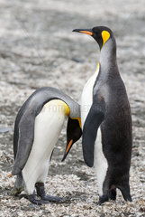 Royal Penguin Parade (Aptenodytes patagonicus) adults  South Georgia