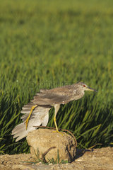 Black-crowned Night Heron (Nycticorax nycticorax). Juvenile. Stretching its wing on a concrete block at the edge of a rice field (Oryza sativa). Environs of the Ebro Delta Nature Reserve  Tarragona province  Catalonia  Spain.