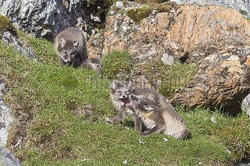 Arctic fox (Vulpes lagopus) young  Spitzbergen  Svalbard.