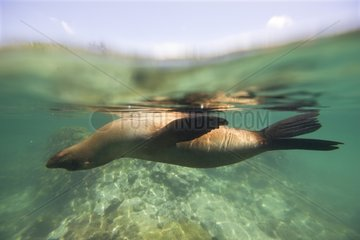 Galapagos Sea lion snorkeling area Isabella