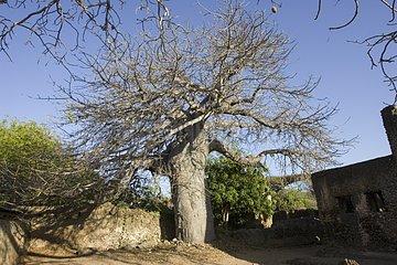 Baobab growing inside ruins of a mosque Kenya