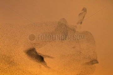 Common Starlings joining their winter dormitory France
