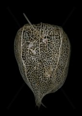 Calyx of Physalis on black background