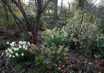 Prunus and perrenials in bloom in early spring in a garden