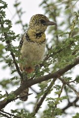 D'Arnaud's Barbet sitting on a branch in Tanzania