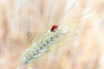 Ladybug on an ear of corn - France