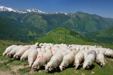 Sheep on pasture Green Mountain - Pyrenees France