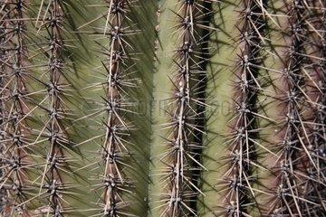 Saguaro cactis spines Arizona USA