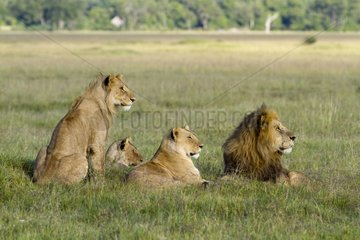 Attentive group of Lions resting Masai Mara Kenya