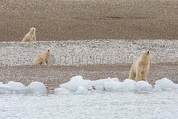 Polar bear (Ursus maritimus) female and her cubs 7 months old  on the shore  Nordaustlandet  Spitzberg  Svalbard.