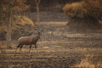 Topi (Damaliscus korrigum). A lone Topi crosses a recently burnt patch of land in Uganda.