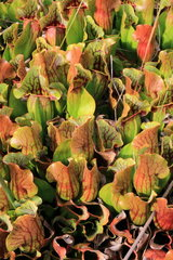 Purple pitcherplant (Sarracenia purpurea) urns