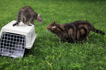 2 month old kitten standing on a transport cage gowling after an adult cat in a garden