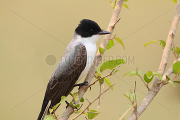 Fork-tailed Flycatcher (Tyrannus savana) on a branch on the lookout for insects  South Brazil