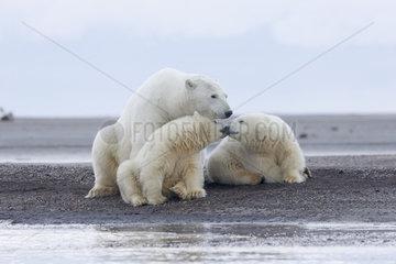 Polar Bear( Ursus maritimus ) with cubs along a barrier island outside Kaktovik  Every fall  polar bears (Ursus maritimus) gather near Kaktovik on the northern edge of ANWR  Barter Island  Arctic National Wildlife Refuge  Alaska