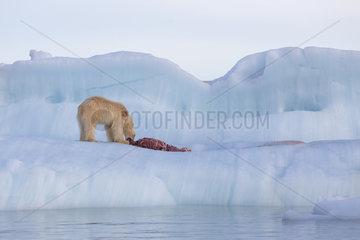 Polar bear (Ursus maritimus) eating a seal on an iceberg  Wahlenbergfjord  Nordaustlandet  Spitzberg  Svalbard.