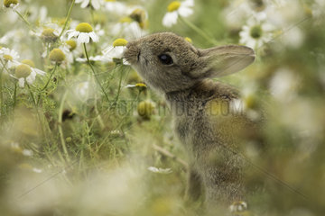 European Rabbit (Oryctolagus cuniculus). A young Rabbit reaches for a nearby Daisy off the coast of Wales  UK.