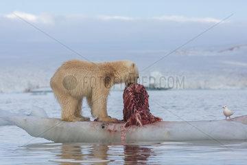 Polar bear (Ursus maritimus) eating a seal on a piece of drifting ice  Wahlenbergfjord  Nordaustlandet  Spitzberg  Svalbard.
