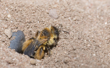 Hairy legged Mining Bee (Dasypoda hirtipes) out of his gallery  Regional Natural Park of Northern Vosges  France