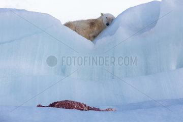 Polar bear (Ursus maritimus) with seal carcass on an iceberg  Wahlenbergfjord  Nordaustlandet  Spitzberg  Svalbard.