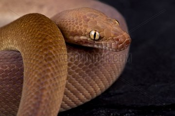 Children's python (Antaresia childreni) Super Ochre morph