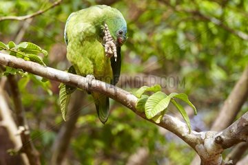 Festive amazon on a branch - Amazon river basin Brazil