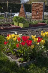 Tulips in bloom in an organic kitchen garden