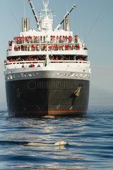 Polar bear (Ursus maritimus) swimming in front of a cruise ship  Canada
