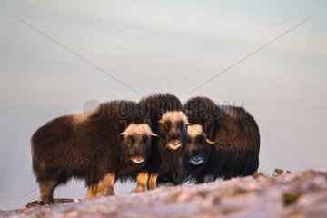 Musk oxes (Ovibos moschatus)  three young animals in the evening light  Dovrefjell-Sunndalsfjella National Park  Norway  Europe