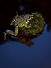 Brown Foam-nest Frog (Leptodactylus poecilochilus)  on rock over water  Pital  Costa Rica  October