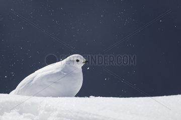 Rock Ptarmigan (Lagopus mutus) female in winter livery in the snow  Valais Alps  Switzerland.