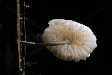 Bonnet mushroom (Mycena sp)  Ranomafana National Park  Madagascar